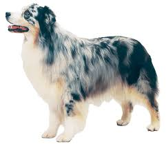 australian shepherd youtube herding australian shepherd dog breeds at mypetsmart com