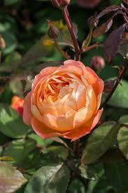 the most fragrant roses for your garden hgtv