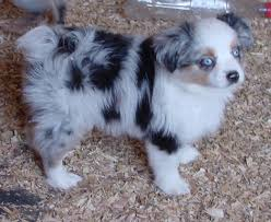 australian shepherd miniature puppies for sale 6