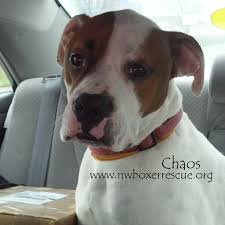 boxer dog quebec the 2130 best images about boxer mom on pinterest