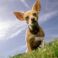 fotos e imagens de gidget taco bell commercial dog dies at 15