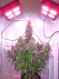 led marijuana grow lights growing cannabis easily with led grow lights expert home grower