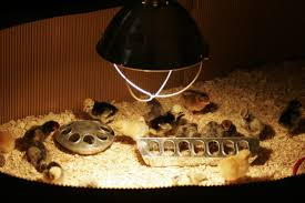 can i use a fan to cool the brooder down my are arriving