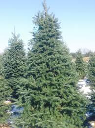 tree varieties young u0027s christmas tree farm