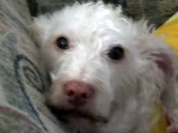 american eskimo dog jack russell mix jack russell terrier mixes