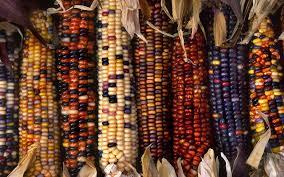 multi colored ornamental indian corn hd wallpaper and