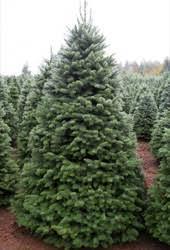 noble fir christmas tree wholesale noble fir fresh cut christmas trees