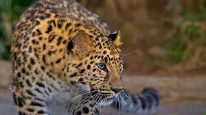 leopard san diego zoo animals u0026 plants