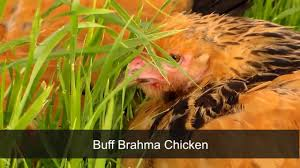 buff brahma chicken by chickens for backyards youtube
