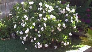 Gardenias by Gardenia Cuidados 1 Junio 2011 Youtube