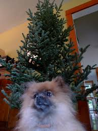 wanted one organically grown christmas tree portland monthly
