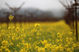 napa valley ground mustard napa valley 365 yellow and gray napa valley mustard
