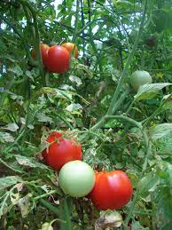 notes on growing tomatoes four string farm