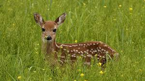 Minnesota wild animals images Deer tag wallpapers page 6 baby fawn light spot snout deer wild jpg