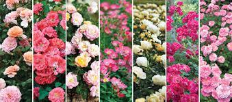 drift roses new for 2016 white drift roses plants