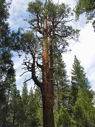 ancient cedar tree zumwalt national park