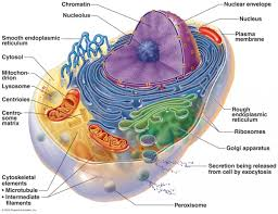the cell anatomy and division review sheet answers choice image