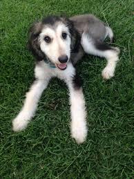 afghan hound of america it u0027s my cakeday so here u0027s my neighbor u0027s afghan hound puppy imgur