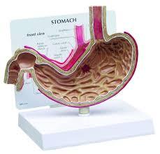 Anatomy Human Abdomen Esophagus And Stomach Anatomy Images Learn Human Anatomy Image