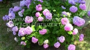 Fertilizer For Flowering Shrubs - hydrangeas two with acid fertilizer and mystery plant 5 31 12