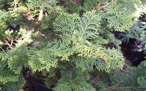buy slender hinoki cypress chamaecyparis obtusa gracilis 6