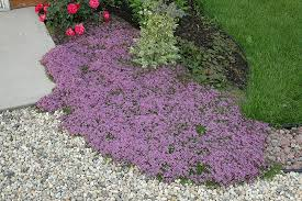 creeping thyme thymus praecox coccineus in naperville