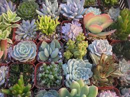 Succulent Plant How To Fertilize Succulents World Of Succulents