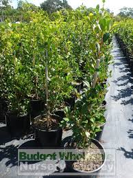 best australian native hedge plants syzygium resilience 200mm pot australian native hedging plant