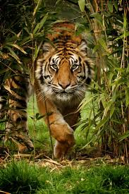 best 25 big cats ideas on pinterest panther jungle animals and