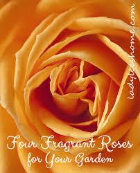 Fragrant Rose Plants - four fragrant roses for your garden lady lee u0027s home