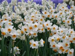 beautiful flowers images hd daffodils flowers kinds of beautiful