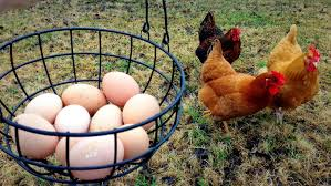 our first backyard chicken eggs youtube