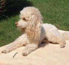 poodles long hair in winter poodle ears care cleaning infections