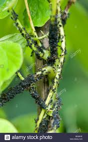 aphis fabae scopoli black bean aphids and farming ants on a
