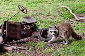 Raccoons In Backyard Raccoon Rascal Backyard Wilderness