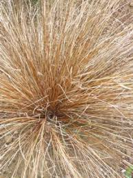 carex testacea great part shade evergreen grass would look great