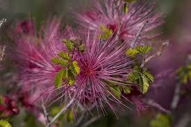 free picture beautiful purple desert flower