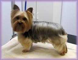 pictures of yorkie haircuts 25 ide terbaik yorkie haircuts di pinterest