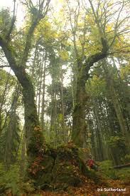 Maple Tree Symbolism by Vancouver Big Tree Hiking Guide Your Ecological Unbelievable