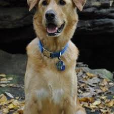 belgian shepherd labrador retriever mix belgian shepherd golden retriever mix assistedlivingcares
