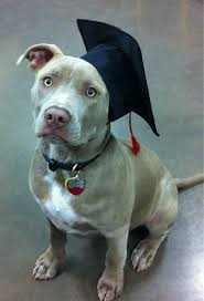 dog graduation cap my pitbull at class graduation aww
