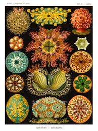 Sea Life Home Decor Sea Urchins Print Poster Ernst Haeckel Art Nouveau Sea