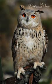Owl Lovers by Best 20 Eurasian Eagle Owl Ideas On Pinterest Owls Beautiful