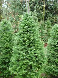 armstrong creek farms noble fir