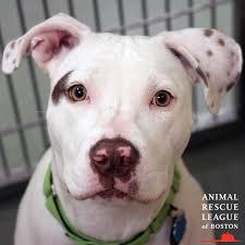 animal rescue league arlboston twitter