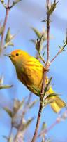 70 best bird identification u0026 facts images on pinterest backyard