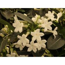 stephanotis flower buy stephanotis floribunda with canarius