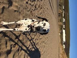 dalmatian welfare dog statuses waiting