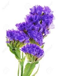 statice flowers macro of purple statice flowers isolated on white background