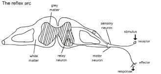 Describe A Reflex Action How Do The Five Senses Respond To Stimuli Example
